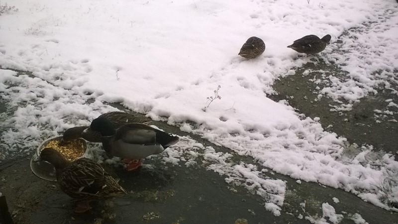 Les canards sous la neige