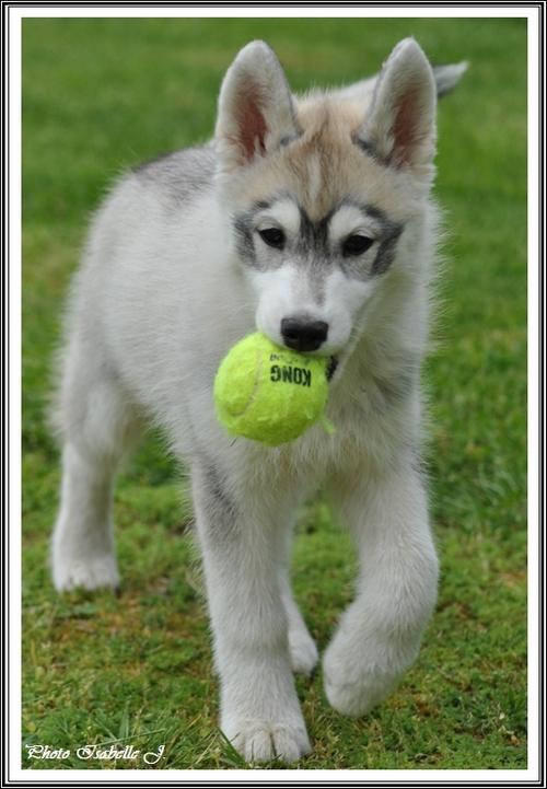 Husky et balle de tennis