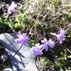 Primevère à feuilles entières (Primula integrifolia) (2170 m)
