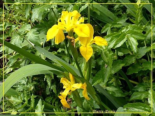 Iris-des-marais-2--Pierre.jpg