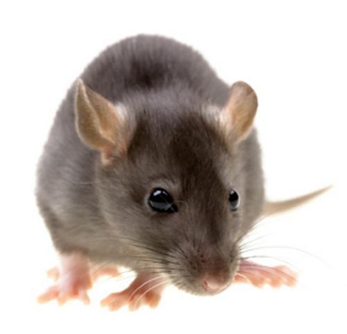 Vous ne regarderez plus jamais les rats de la même maniére
