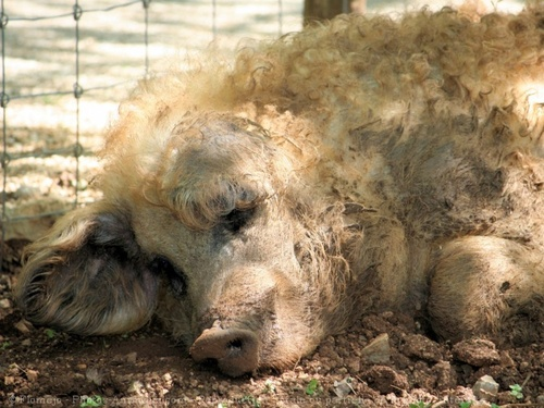 Le Mangalitsa ou cochon laineux