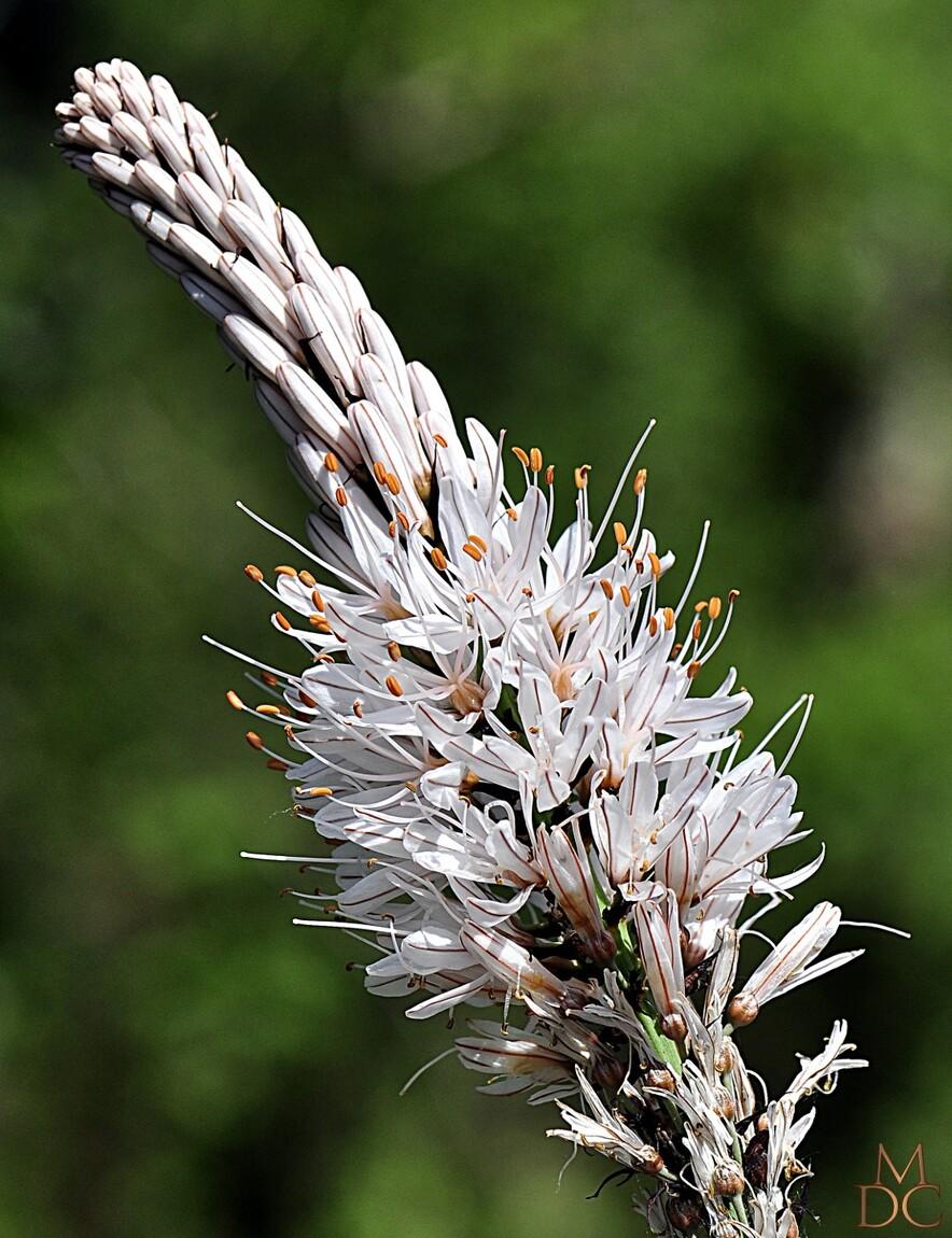 Asphodèle blanc