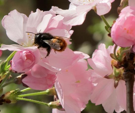 Les défenseurs des abeilles mettent en avant leur rôle essentiel dans la pollinisation des arbres fruitiers et des plants de légumes.