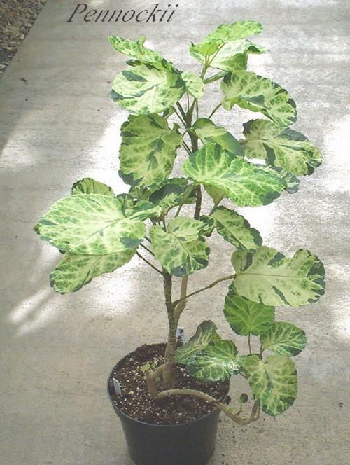 Plantes d 39 int rieur polyscias araliac es for Plante 7 folioles