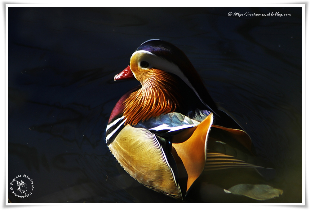 Canard mandarin - Aix galericulata