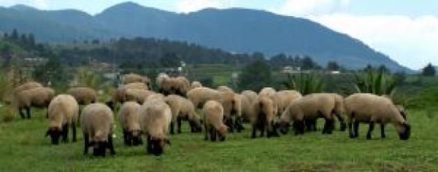 pâturage des moutons