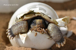 "Tortues d'Hermann ""Reproduction"""