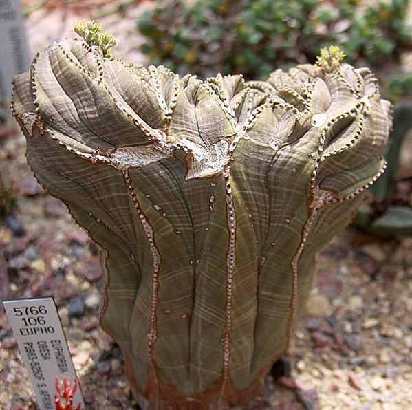 603px-Sea Urchin (euphorbia obesa)