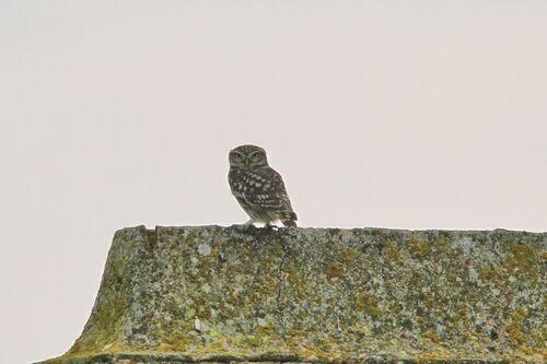 Chevêche d'Athena (Little Owl)