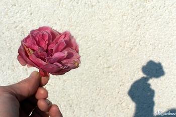 Ombre de rose
