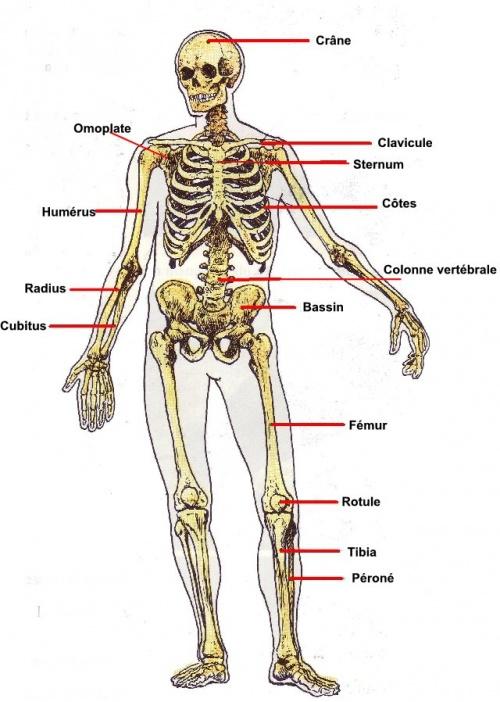 Le squelette humain. - les lutins afcf3d94e05