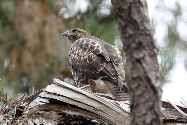 Red-tailed Hawk - Stow Lake