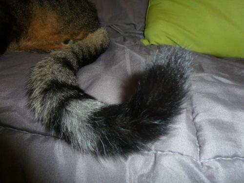 La queue d'un chat