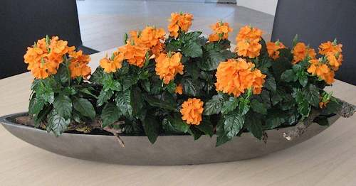 Fleurs cultivées : Crossandra