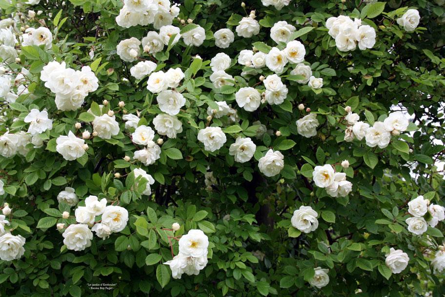roses du jardin h de multiflora page 2 le jardin d 39 ent oulet. Black Bedroom Furniture Sets. Home Design Ideas