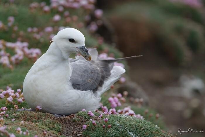 Bienvenue aux Sept-Îles, première réserve française d'oiseaux de mer,