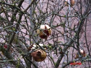GRENADE FRUIT (4)