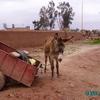 douar gzoula - un petit âne