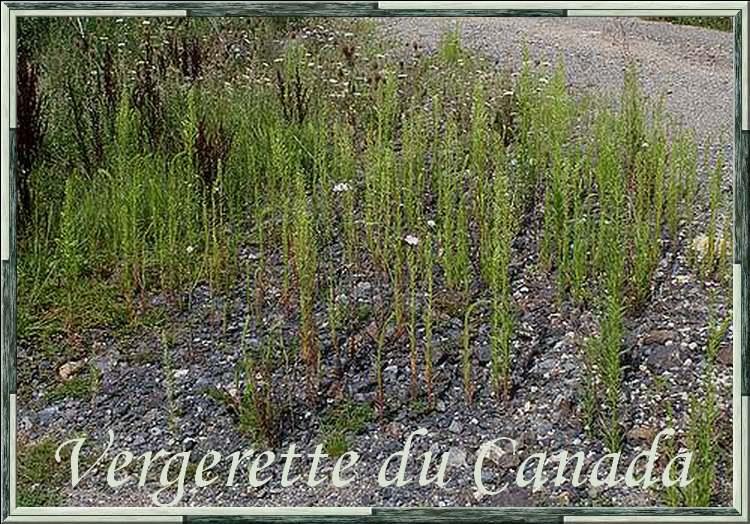 Vertus médicinales des plantes sauvages : Vergerette du Canada