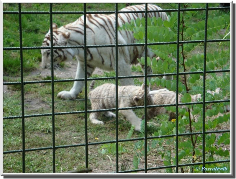 Tigres_blancs3