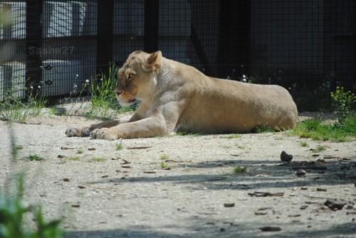 Une lionne...