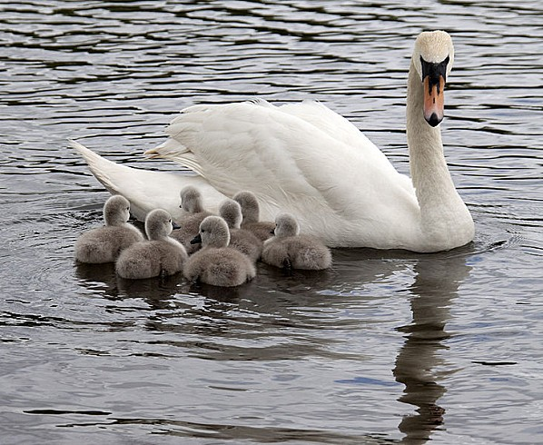 732px-Cygnus olor -adult with 7 cygnets -England-8