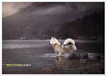 l' Alaskan Malamute 2015