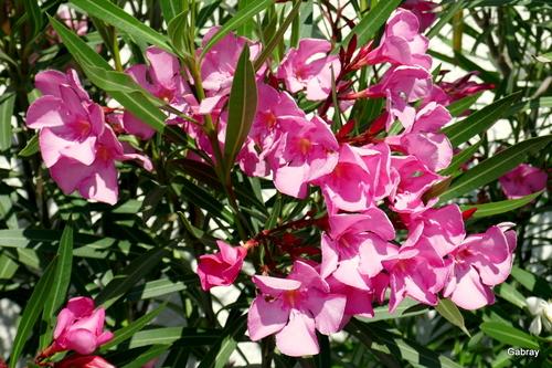 Les fleurs des lauriers roses!