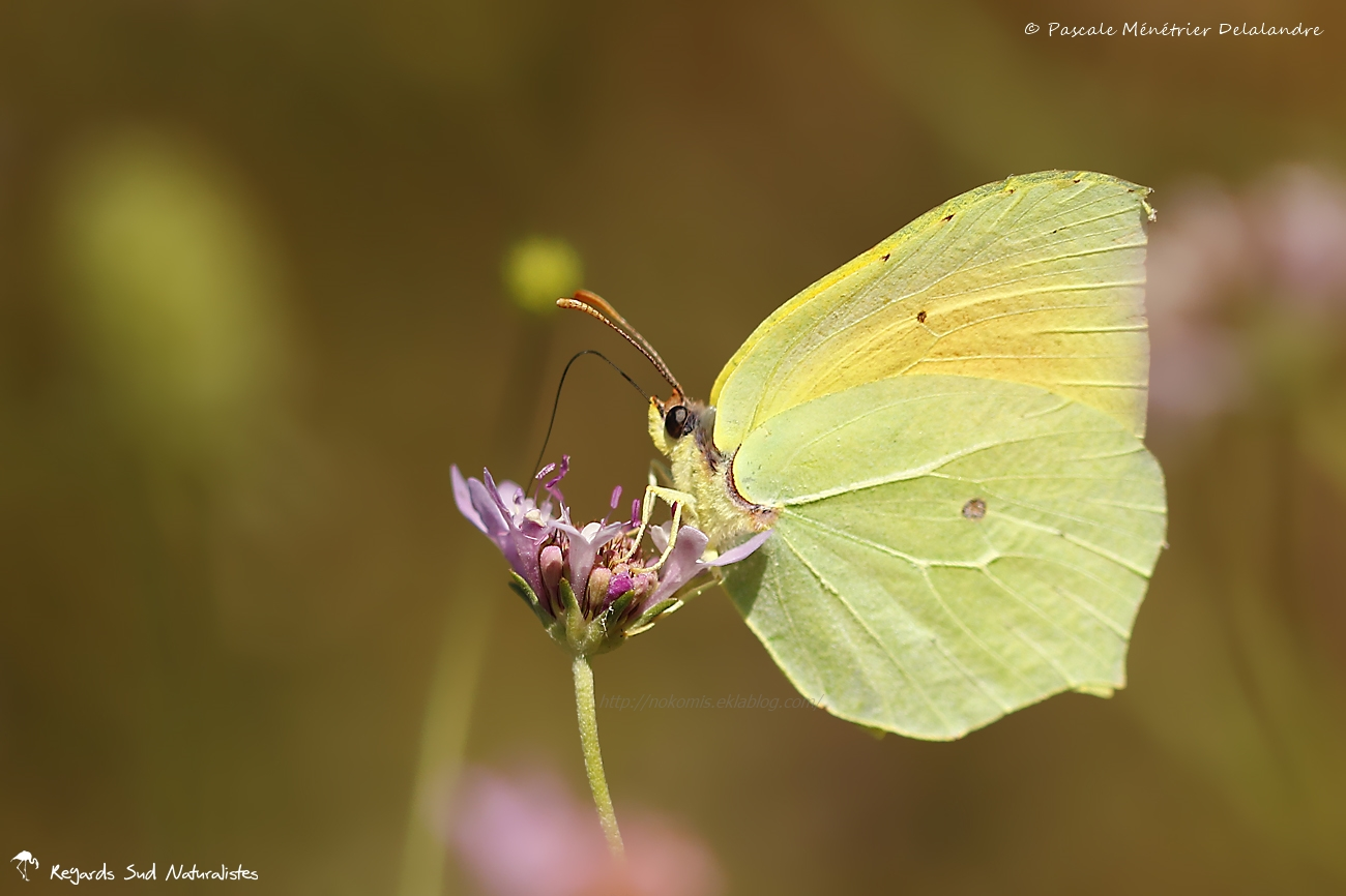 Citron de Provence - Gonepteryx cleopatra - Pieridae