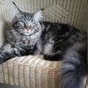 MORISS - NX CLIENT 2015  MAINE COON