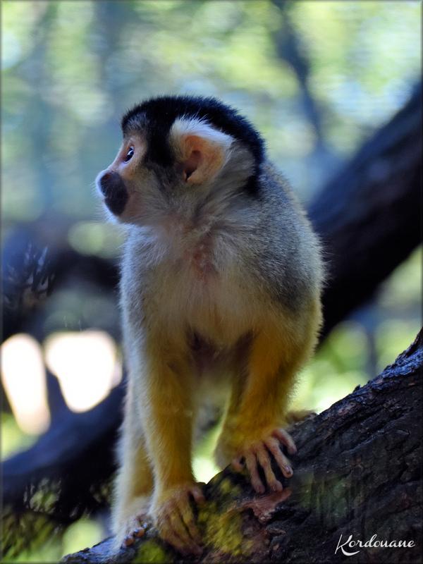 Photo de Saimiri - Zoo du Bassin d'Arcachon