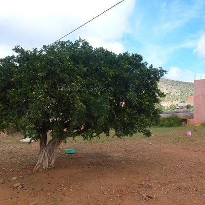 Arganier ou Argania Spinosa - L'arbre aux multples usages