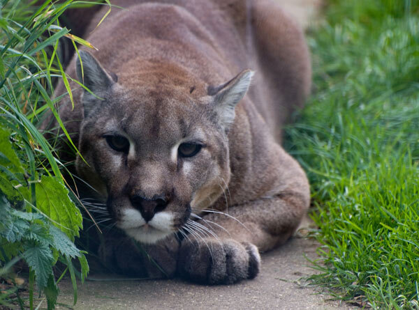 Puma à l'affût