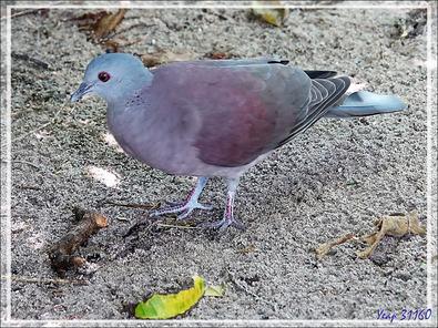 Pigeon de Madagascar, Malagasy Turtle Dove (Nesoenas picturatus) - Nosy Tsarabanjina - Archipel des Mitsio - Madagascar