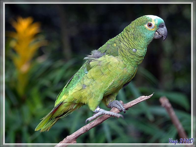 Amazone à front bleu, Turquoise-fronted Amazon (Amazona aestiva) - Parque das Aves - Foz do Iguaçu - Brésil