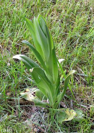 Himantoglossum hircinum  -  orchis bouc