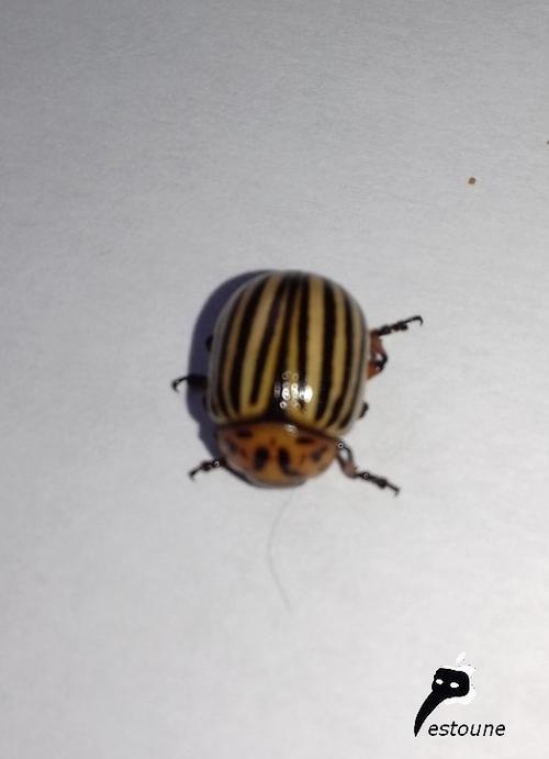 Doryphore (Leptinotarsa decemlineata)