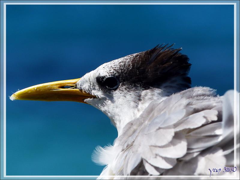 Sterne huppée, Greater Crested Tern (Thalasseus bergii) - Baie d'Avea - Huahine - Polynésie française