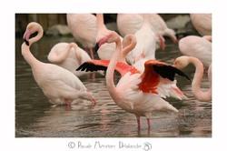 Parade nuptiale de Flamant rose