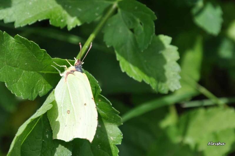 citron Gonepteryx rhamni