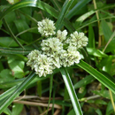 Une herbe commune de près ...  - A identifier (8) -    Photo : Yvon