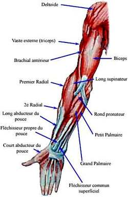 Muscler les bras