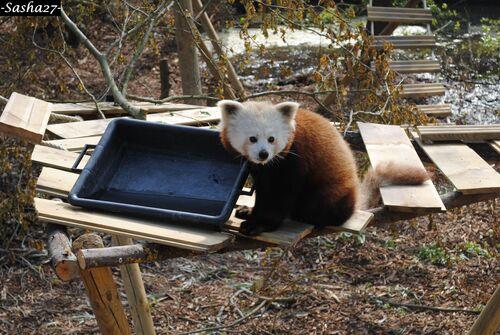 P'tite soif du Panda Roux ♀