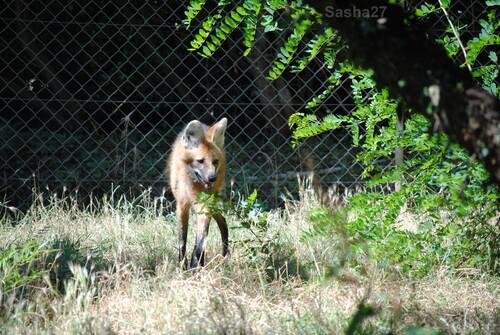 (7) Le loup à crinière.