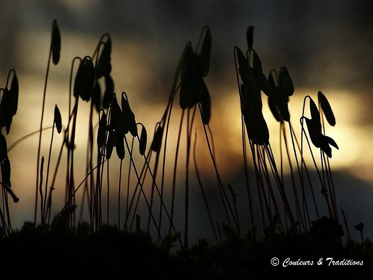 Crépuscule chez les sporophytes