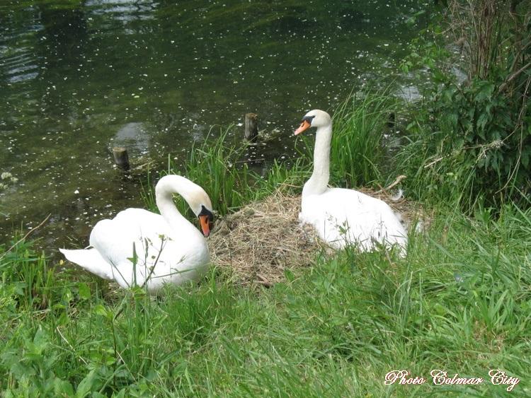 Kunheim : Maman est toujours au nid
