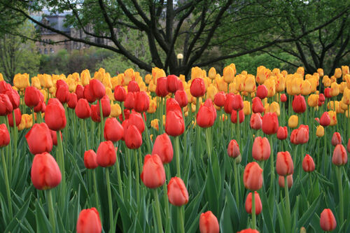 Fanfan la Tulipe