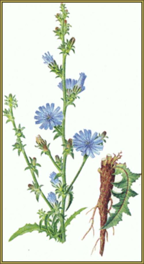 Vertus médicinales des plantes sauvages : Chicorée sauvage