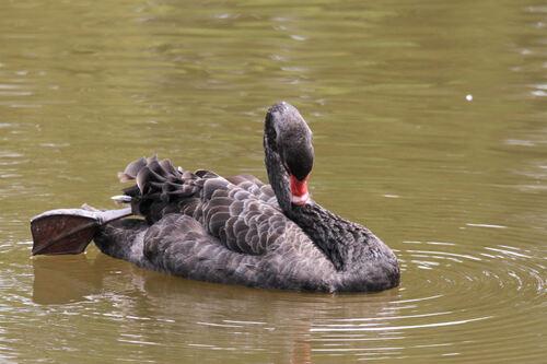 Cygne noir (Black Swan) Australie